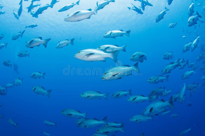 Download School of snapper stock photo. Image of dive, diving - 20622684