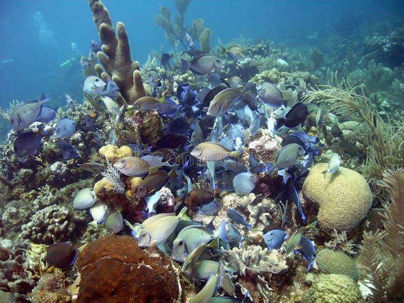 Download School of surgeonfish stock image. Image of bahianus - 19557867