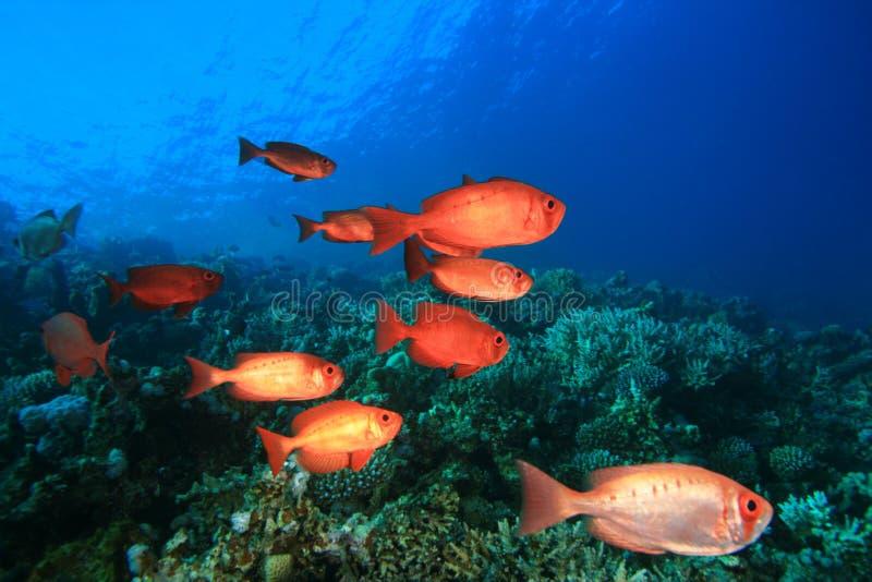 Download School of Tropical Fish stock photo. Image of bigeye - 17966586