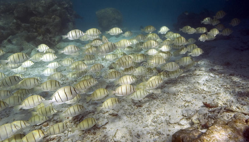 School of tropical fish - South Pacific Ocean stock images