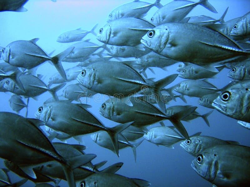 School of tuna. School of big eyed jack tuna