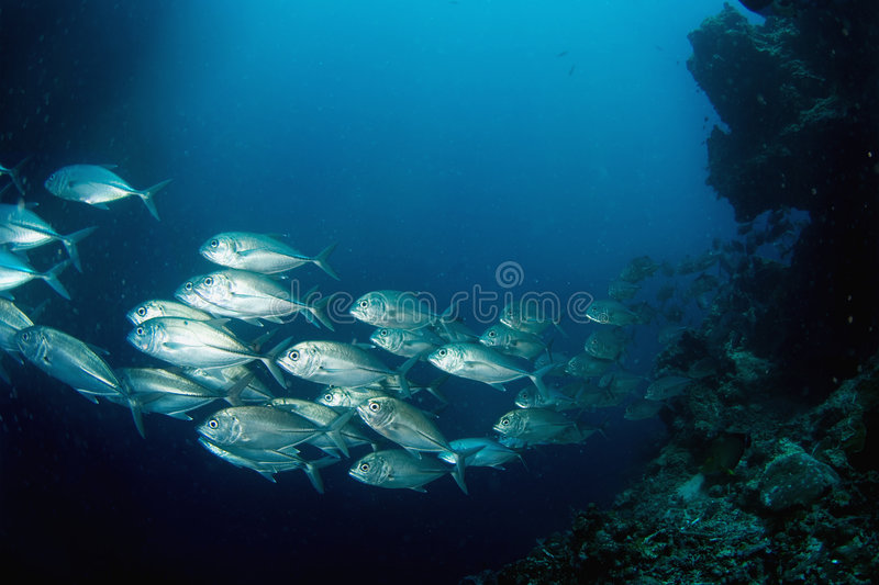 School of tuna. A large school of silver tuna swimming above a tropical coral reef on a scuba diving adventure
