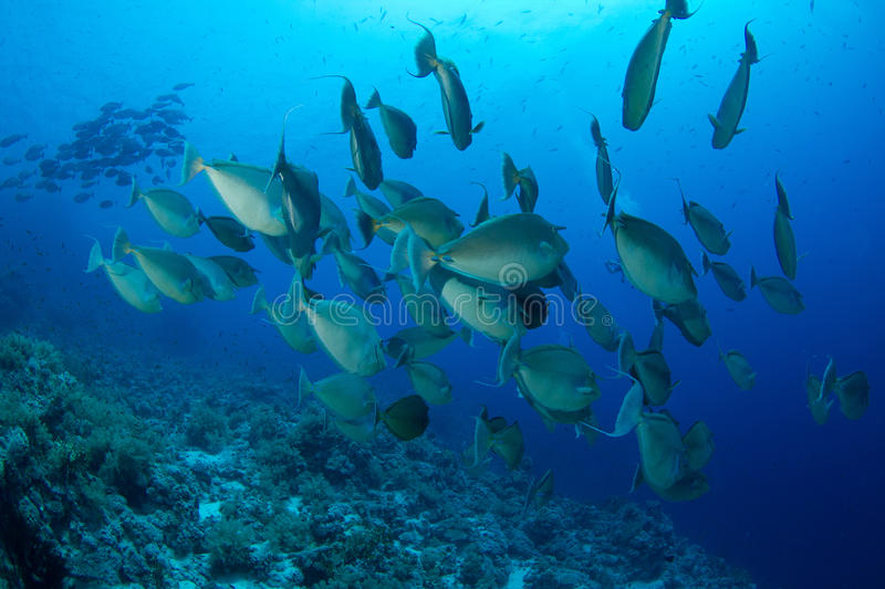 School of unicornfish. In the red sea stock image