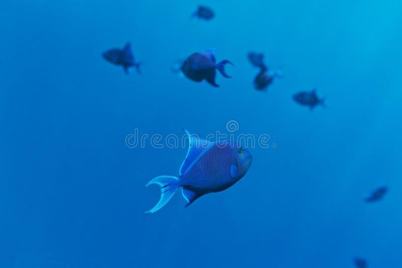 School van blauwe vissen royalty-vrije stock afbeelding