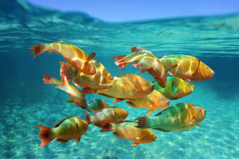 School van de tropische papegaaivissen van de vissenregenboog royalty-vrije stock afbeelding