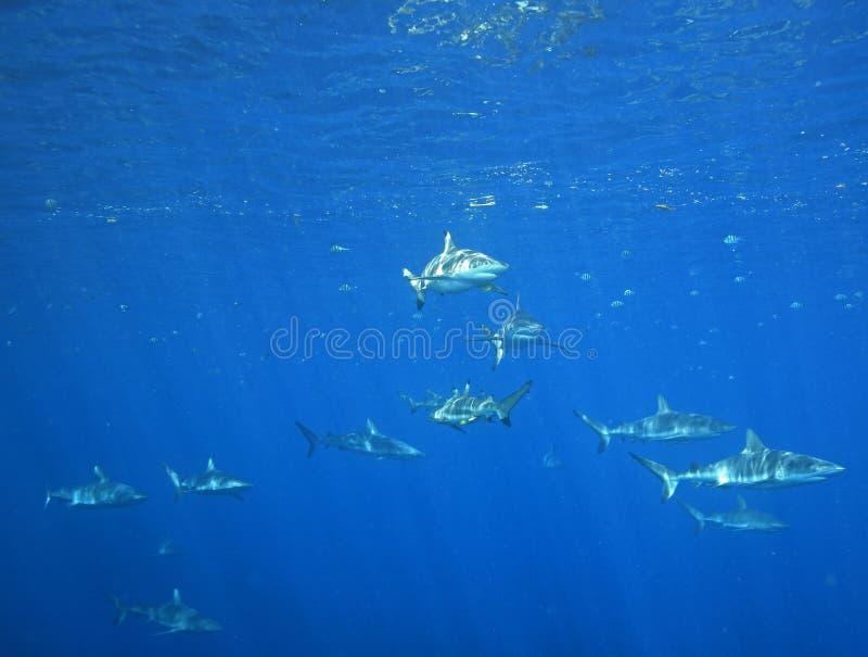 School van Haaien stock foto