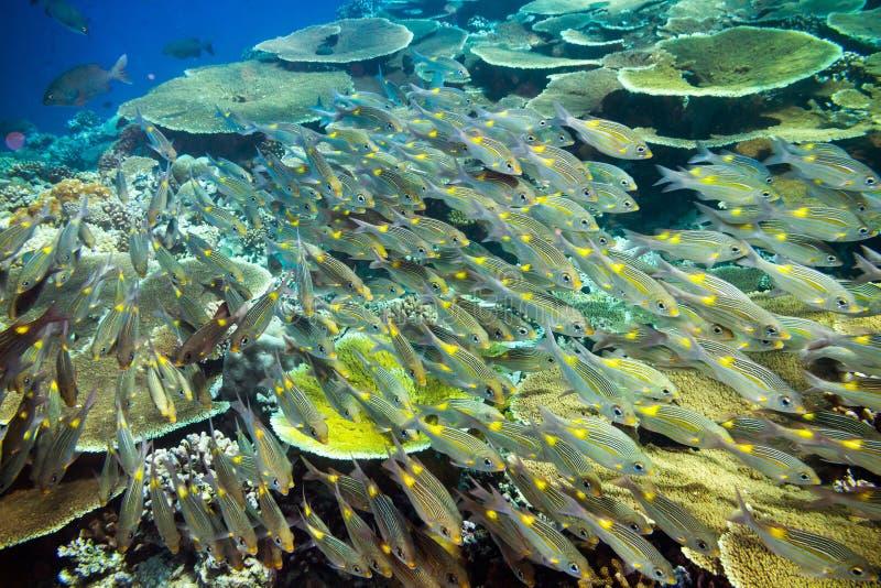 School van snapper fishs op koraalrif stock afbeeldingen