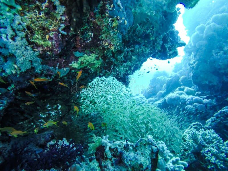 School van Vissen die rond Rode Overzees Coral Reefs in Egypte zwemmen stock foto's