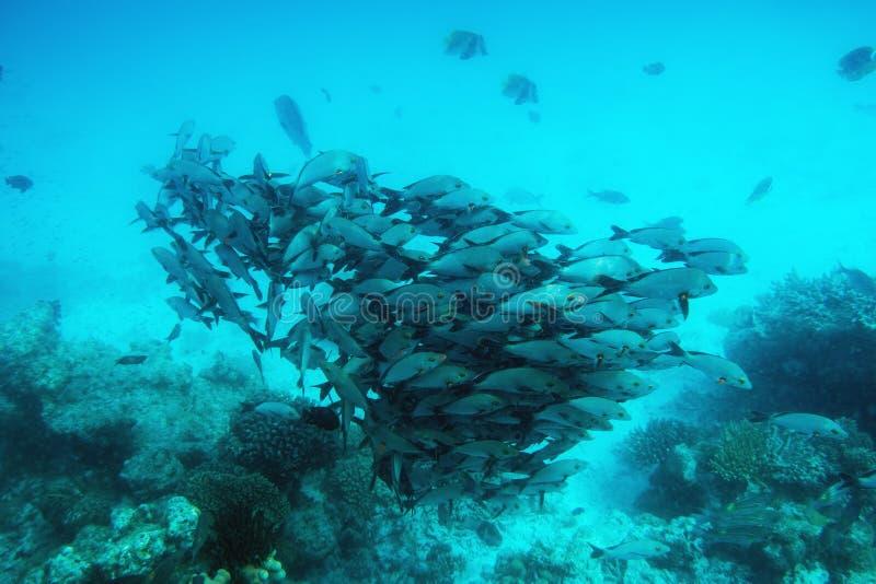School van vissenvissen in Indische Oceaan, de Maldiven royalty-vrije stock foto