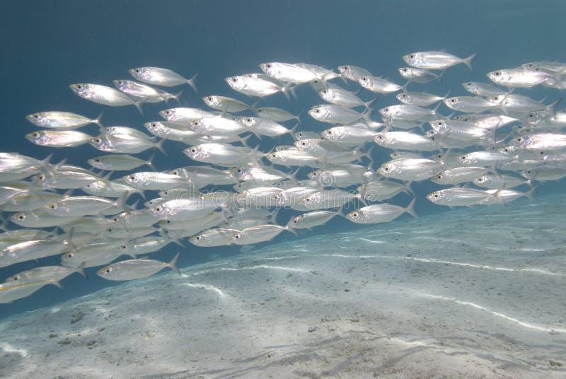School van zilveren vissen stock afbeeldingen
