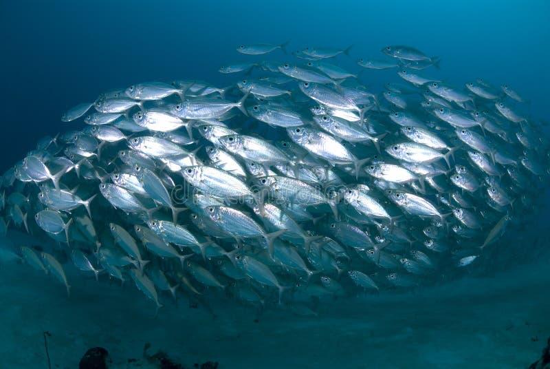 School van zilveren vissen stock afbeelding