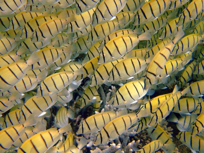 School of yellow damselfish, Mirihi, Maldives royalty free stock photography