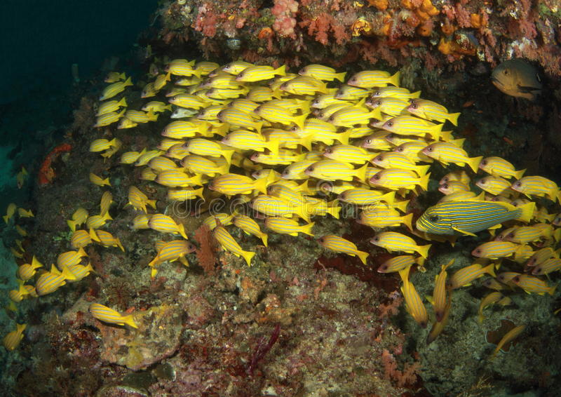 Download School of yellow fish stock image. Image of stripe, swimming - 23559249