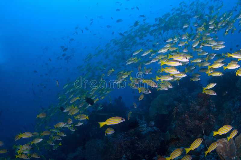 School of yellow snappers over reef. Indonesia Sulawesi Lembehst royalty free stock image