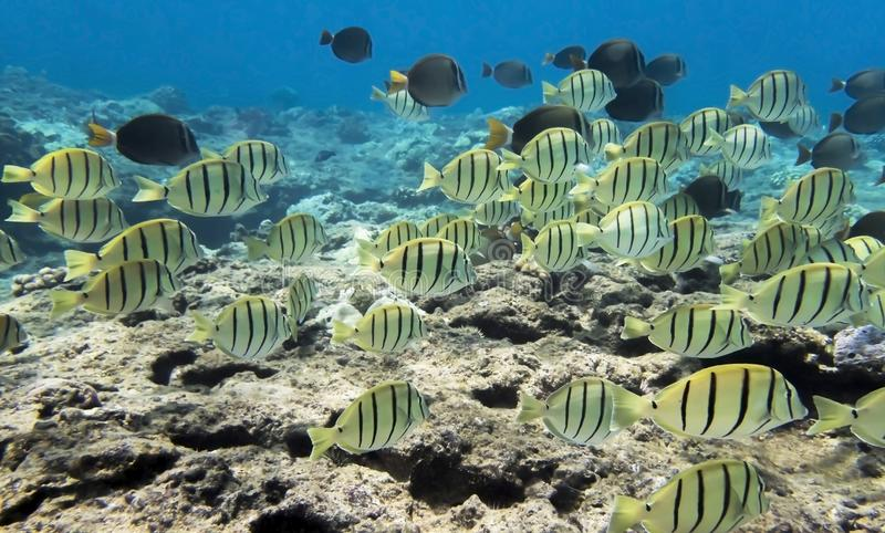 School of Yellow Striped Convict Tang Reef Fish Underwater. School of yellow convict tangs swimming over a reef in clear ocean water in Hawaii royalty free stock photography