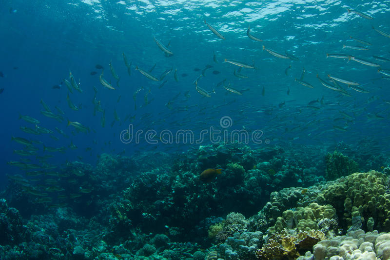 School of yellowfin barracudas in coral reef. Yellowfin barracudas close to the surface in the Red Sea stock photo