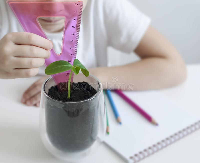 Schoolgirl in a biology or botany class measure a sprouted green plant with a ruler. ucumber leaves. Growing plants. Child writing data into questionnaire royalty free stock photos
