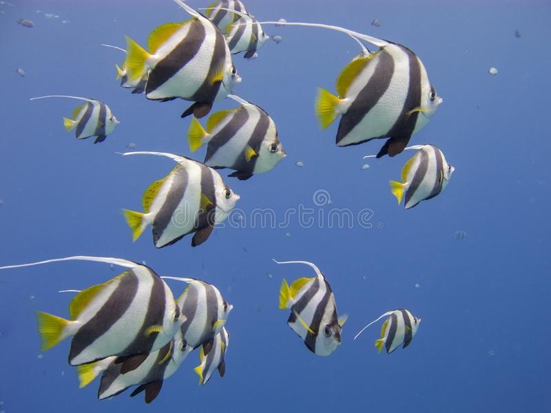 Schooling bannerfish in a clear blue sea. Schooling bannerfish Heniochus diphreutes underwater at dive site Bannerfish Bay in Dahab, Egypt royalty free stock images