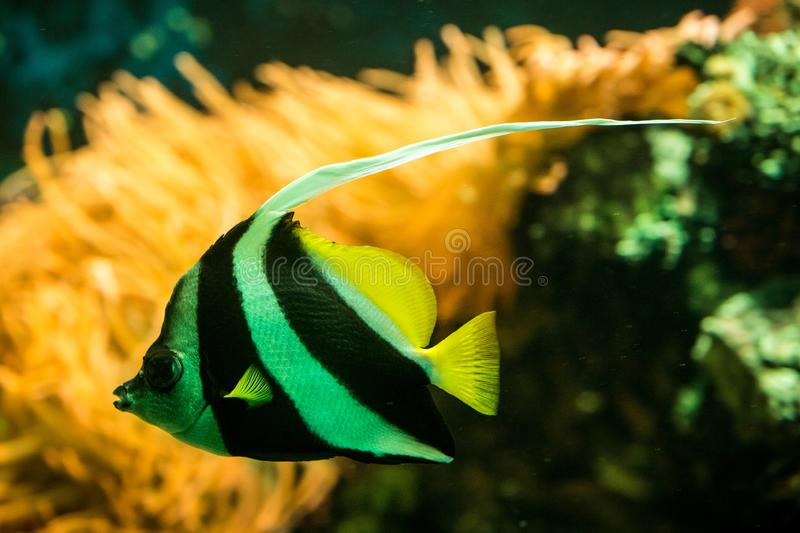 Schooling bannerfish Heniochus diphreutes, butterflyfish, coral reef fish, Salt water marine fish, beautiful yellow fish. With tropical corals in background stock images