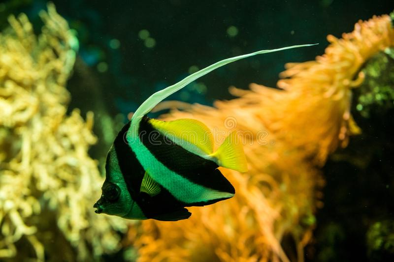 Schooling bannerfish Heniochus diphreutes, butterflyfish, coral reef fish, Salt water marine fish, beautiful yellow fish. With tropical corals in background royalty free stock image