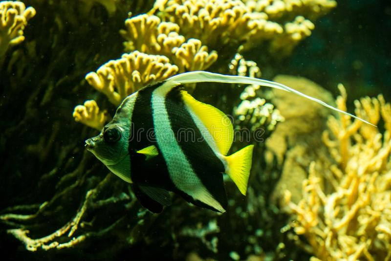 Schooling bannerfish Heniochus diphreutes, butterflyfish, coral reef fish, Salt water marine fish, beautiful yellow fish. With tropical corals in background stock image
