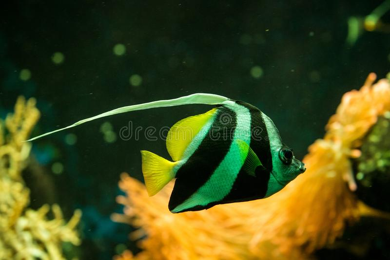 Schooling bannerfish Heniochus diphreutes, butterflyfish, coral reef fish, Salt water marine fish, beautiful yellow fish. With tropical corals in background royalty free stock photos