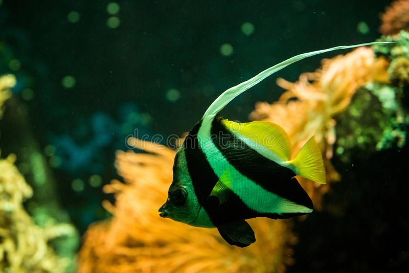 Schooling bannerfish Heniochus diphreutes, butterflyfish, coral reef fish, Salt water marine fish, beautiful yellow fish. With tropical corals in background royalty free stock photo