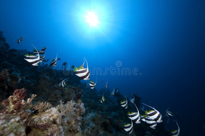 Download Schooling Bannerfish, Ocean And Coral Stock Photo - Image: 12615354