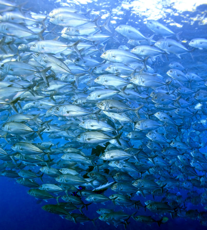 Schooling Bigeye Trevally Royalty Free Stock Photography