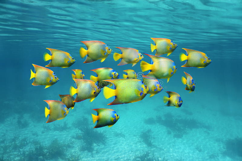 Schooling colorful tropical fish queen angelfish stock photography