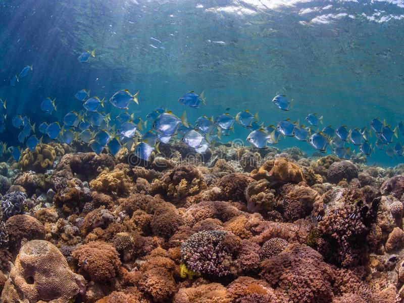School of diamondfish on a pristine tropical coral reef stock images
