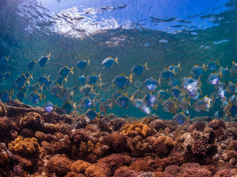 School of diamondfish on a pristine tropical coral reef royalty free stock photos