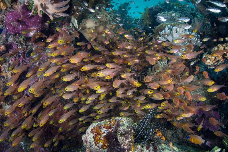 Schooling Fish and Coral Reef in Raja Ampat stock images