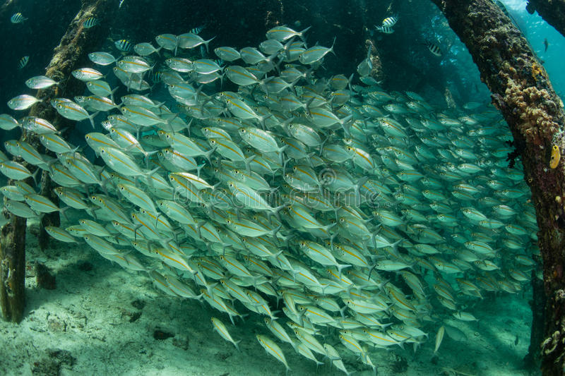 Schooling Fish and Jetty in Raja Ampat. A large school of Yellowstripe scad swim under a jetty in Raja Ampat, Indonesia. This tropical region is known for its stock photos