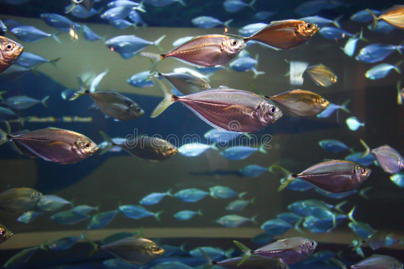 Schooling fish. Small fish schooling in an aquarium royalty free stock images