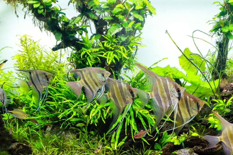 Planted aquarium with wild angelfish stock images