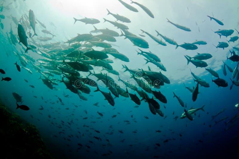 Download Schooling jacks stock photo. Image of ocean, reef, fins - 24611962