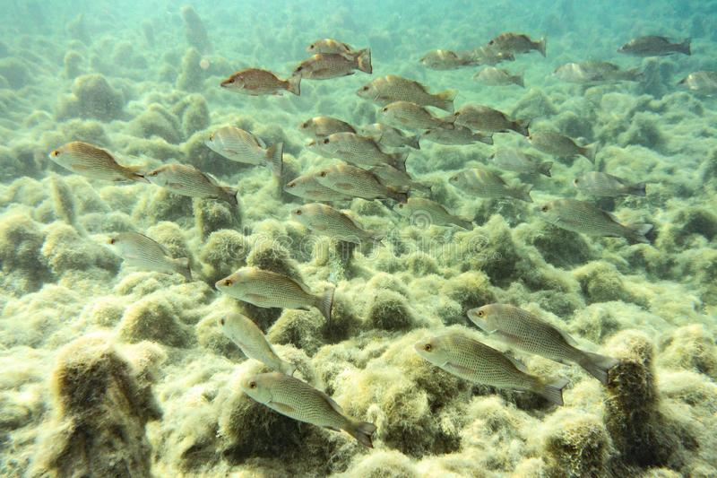 Schooling Mangrove Snappers near a Florida spring. royalty free stock photography