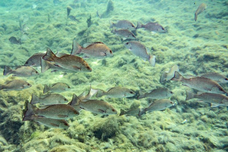Schooling Mangrove Snappers near a Florida spring. stock photo
