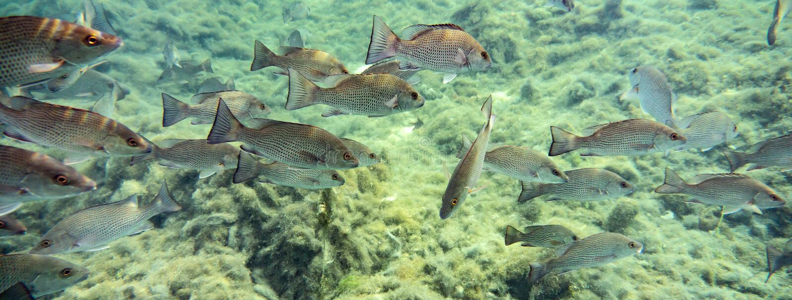 Schooling Mangrove Snappers near a Florida spring. stock photography