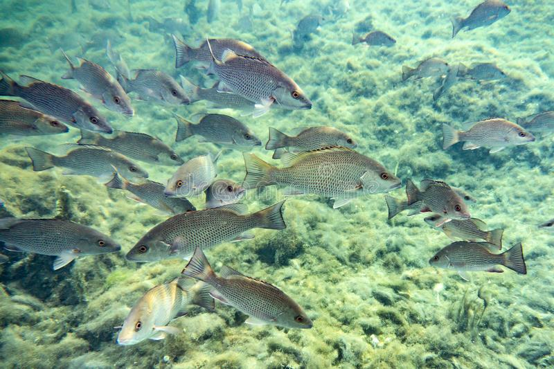 Schooling Mangrove Snappers near a Florida spring. royalty free stock photo