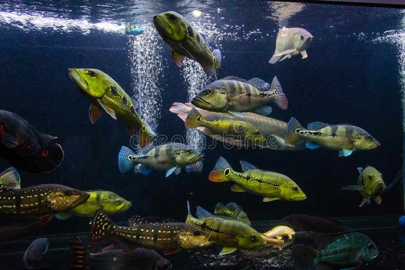 Schooling of Peacock Bass. In Large Aquarium such as Orinoco, kelberi, Melaniae, Piquiti and Temensis stock image
