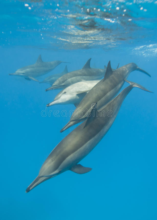 Schooling Spinner dolphins. Selective focus. Schooling Spinner dolphins (Stenella longirostris). Sataya, Southern Red Sea, Egypt. Selective focus royalty free stock photography