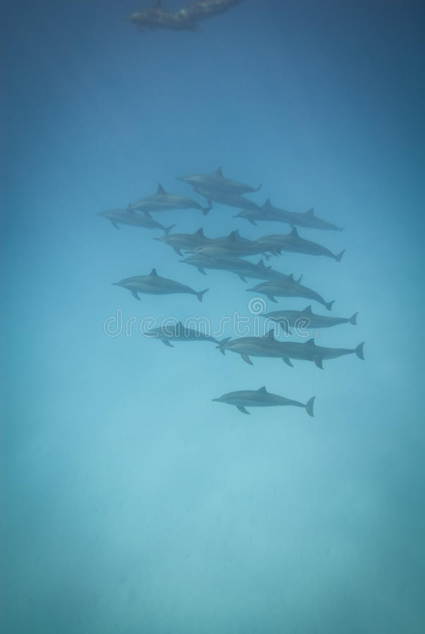 Schooling Wild Spinner Dolphins. Royalty Free Stock Photography
