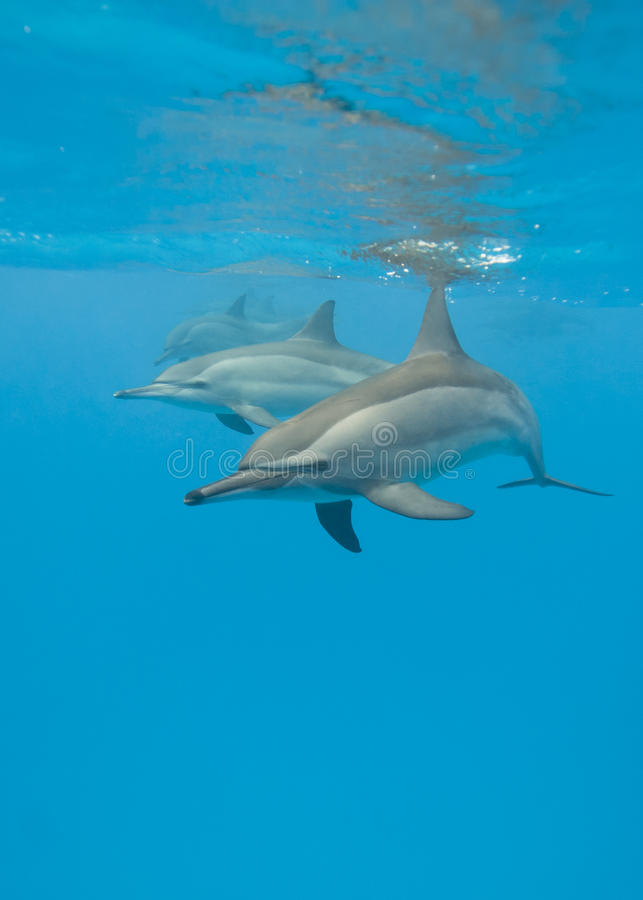 Schooling Wild Spinner Dolphins. Royalty Free Stock Image