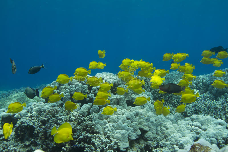 Schooling Yellow Tang royalty free stock photography