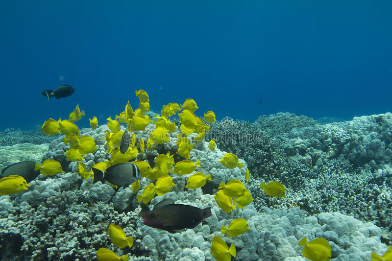 Schooling Yellow Tang royalty free stock photo