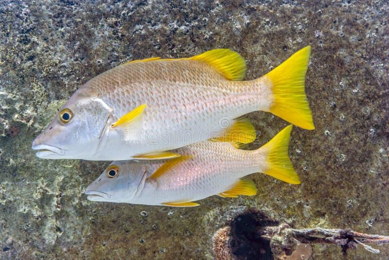 Schoolmaster fotograf, Lutjanus apodus, ryba obraz royalty free