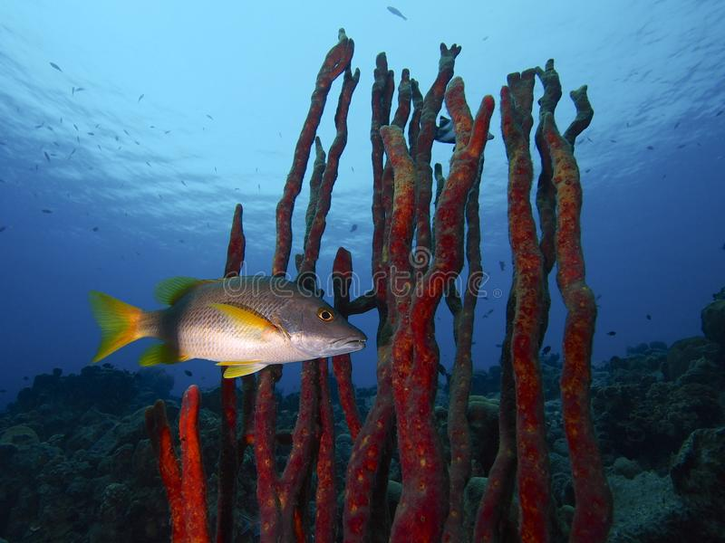 A schoolmaster lurking in a thicket of red erect rope sponge, Something Special, Bonaire. A schoolmaster snapper lurks in a thicket of red erect rope sponge royalty free stock photos