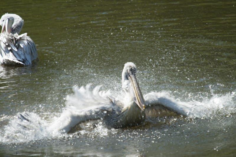Schoon te maken pelikaan royalty-vrije stock foto